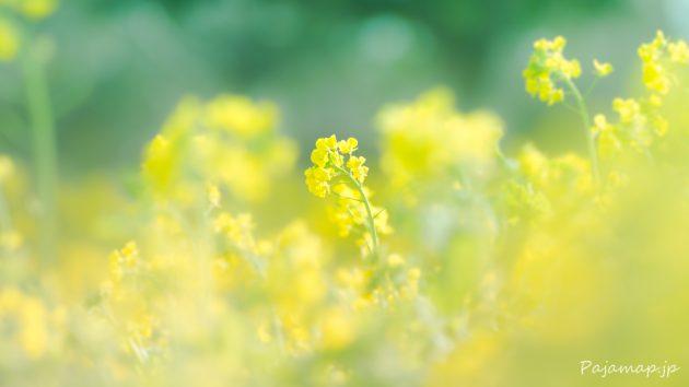 淡路島の菜の花の写真です。