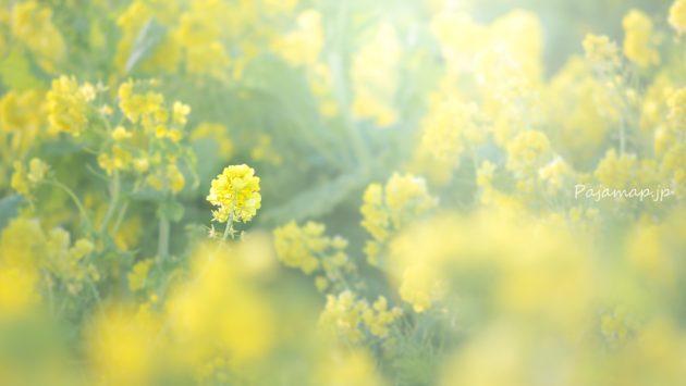 ふわっとした淡路島の菜の花の写真です。