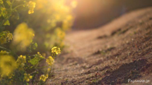 夕暮れ時の淡路島の菜の花です。
